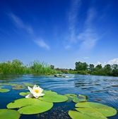 Summer river with lilies — Stock Photo