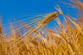 Wheat ears on a blue sky background — Foto Stock