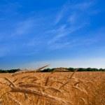 Summer wheat field — Stock Photo #8951761