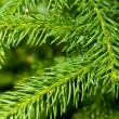 Pine tree branch — Stock Photo #8951856