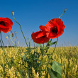 Wheat field and red poppy - Stock Photo