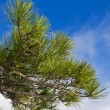 Pine tree branch on a blue sky background - Foto de Stock