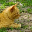 Beautiful red cat lying on green grass — Stock Photo #8954420