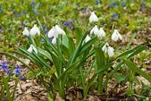 Beautiful closeup spring snowdrops — Stock Photo