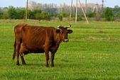 Cow on a green pasture — Stock Photo