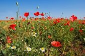 Red poppy and white camomile — Stock Photo