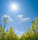 Yellow rape field under a sparkle sun — Stock Photo