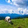 Cow on a mountain pasture — Stock Photo