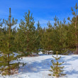 Winter fir tree forest — Stock Photo