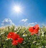 Red poppy field under a sun — Stock Photo