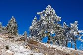Winter pine forest — Stok fotoğraf