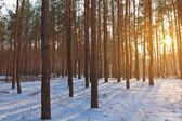 Evening winter forest — Stock Photo