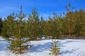 Winter fir tree forest — Stock Photo