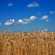 Golden wheat field by a summer day — Stock Photo
