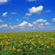 Sunflower field by an summer day — Stock Photo