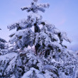 Snowbound fir tree at the evening — Stock Photo