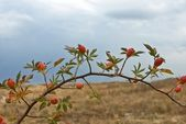 Wild rose bush in a steppe — Stock Photo