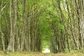 Tunnel in a beech forest — Stock Photo