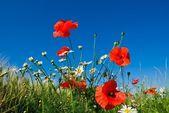 Mavi bir gökyüzü üzerinde kırmızı gelincik — Stok fotoğraf
