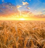 Sunrise among a wheat fields — Stock Photo
