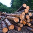 Sawed pine tree barrels — Stockfoto