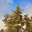 Stock Photo: Pine tree in a winter forest