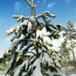 Stock Photo: Little snowbound pine tree