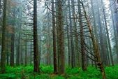 Green pine forest in a mist — Stock Photo