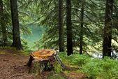 Stomp in een dennenbos — Stockfoto