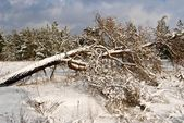 Fallen pine tree in a winter forest — Stock Photo