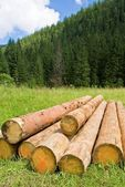 Heap of pine logs in a forest — Stock Photo