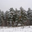 Stock Photo: Winter snowbound quiet forest