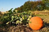 Ripen pumpkin on a field — Stock Photo
