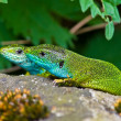 Green lizards sit on a stone — Stock Photo