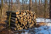 Heap of wooden logs in a sprig forest — Stock Photo