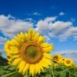 Large sunflowers on a blue sky background — Stock Photo