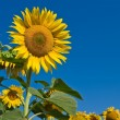 Nice sunflowers on a blue sky background — Stock Photo
