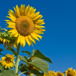 Stock Photo: Nice sunflowers on a blue sky background