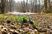 Youth flowers in a spring forest — Stock Photo