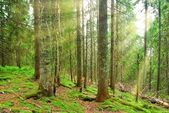 Green pine forest in a rays of sun — Stock Photo