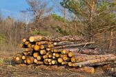 Heap of a pine trunks in a forest — Stock Photo