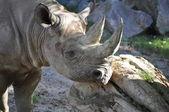 Nashorn - Rhinoceros — Stock Photo