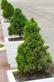 Decorative pine trees — 图库照片