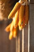 Secche di mais giallo — Foto Stock