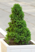 Decorative pine tree — Stock Photo