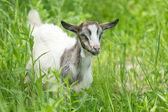 Beautiful portrait goat. — Stock Photo