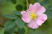 Wild rose — Stock Photo