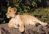Bella giovane leone — Foto Stock