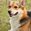 CardigWelsh Corgi . — Stock Photo #8131423