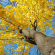 Royalty-Free Stock Photo: Yellow autumn tree